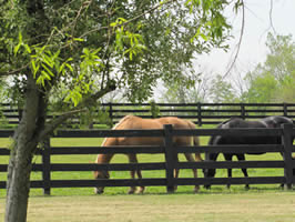 Horses Grazing in Lovely Boyle County, Kentucky
